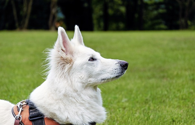Health Issues Faced by White Swiss Shepherds